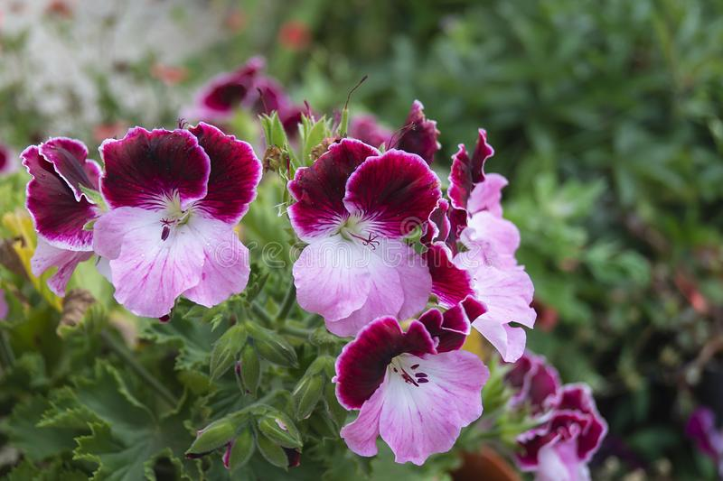 Blommapelargonia på bakgrund av den gröna örten royaltyfria foton