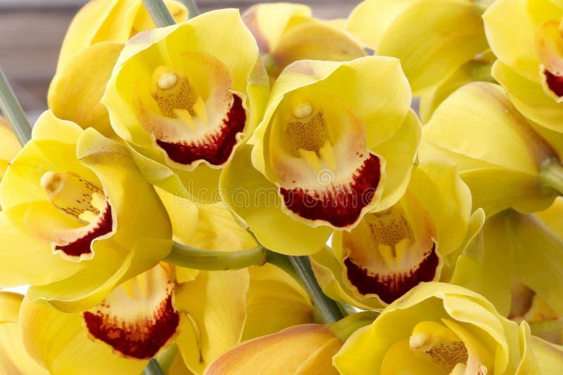 blommaphalaenopsis arkivbild