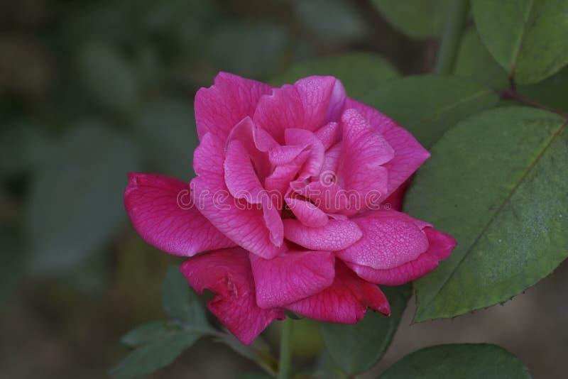 blommapinken steg royaltyfria bilder