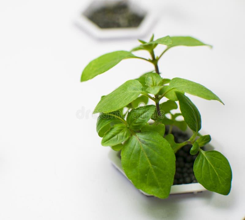 Blommaplanta i hydraponic växt arkivfoto