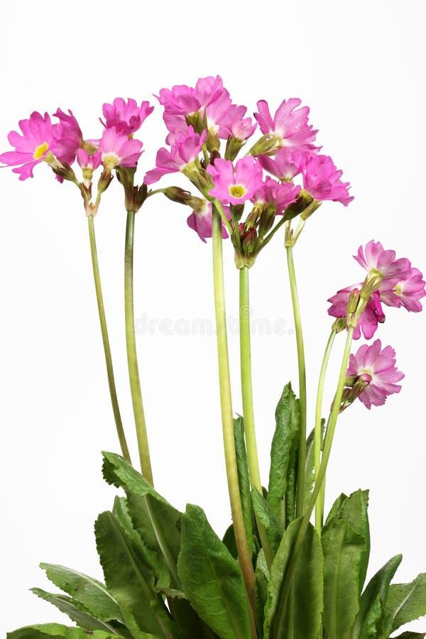 blommaprimularosea royaltyfri foto