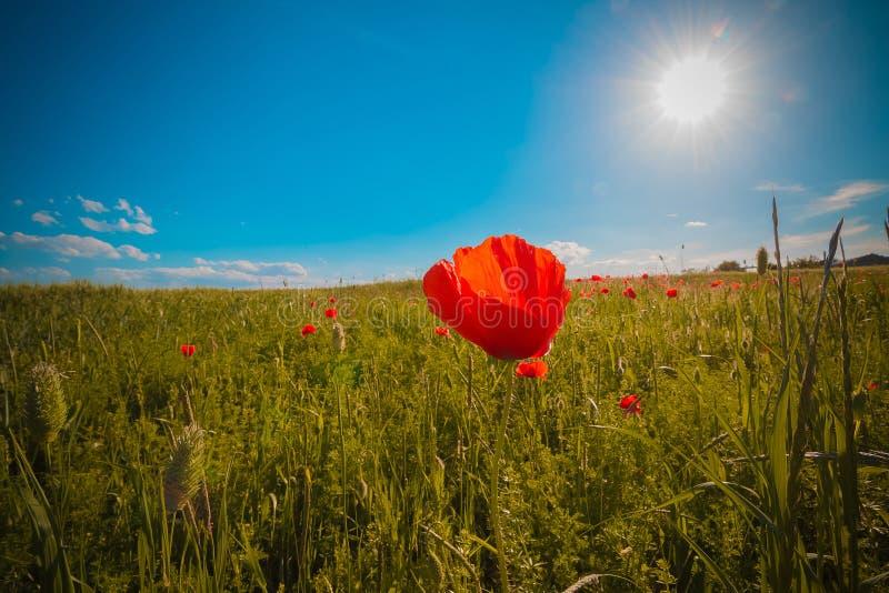 Blommar ängen av det röda vallmofältet i blåsig dag under blå himmel, lantlig bakgrund fotografering för bildbyråer