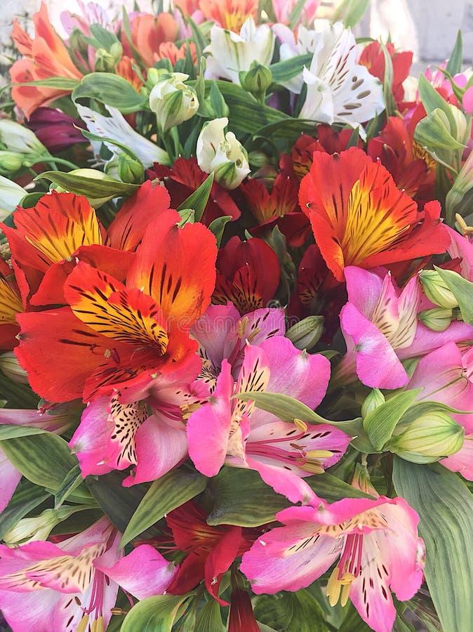 Blommar alstroemeria royaltyfria foton