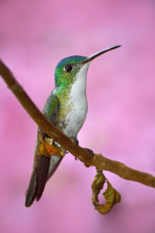 Blommar Andean smaragdsammanträde för den lilla kolibrin på filialen med rosa färger bakgrund Fågelsammanträde bredvid härlig ros arkivfoto