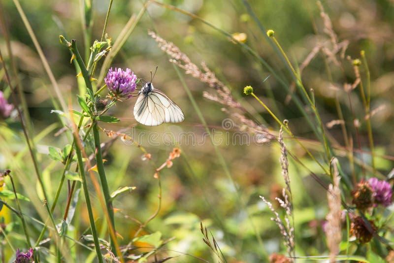 Blommar annalkande pollen för den svartvita fjärilen på lila i G royaltyfria bilder