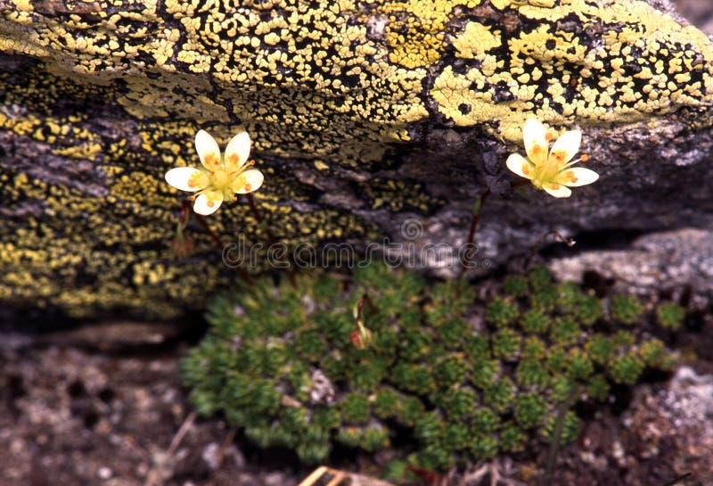blommar bergyellow arkivbild
