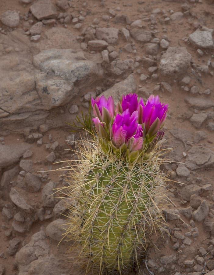 blommar clumy blomning f?r kaktus tillv?xt som lilla nya sidor royaltyfri foto