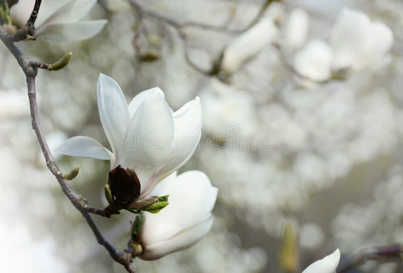 Blommar den övre bilden för slutet av magnolian att blomma i en vår Hipster filtrerat foto royaltyfria foton