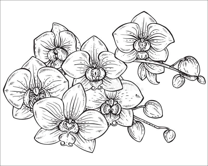 Blommar den blom- buketten för den härliga monokromma vektorn av orkidén vektor illustrationer
