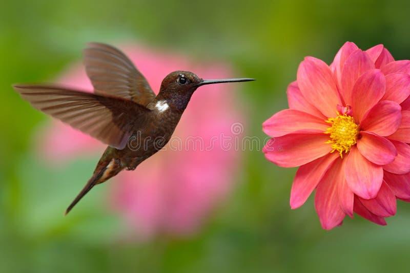 Blommar den bruna incaen för kolibrin, den Coeligena wilsonien som flyger bredvid härliga rosa färger, rosa färger blommar i bakg arkivfoto