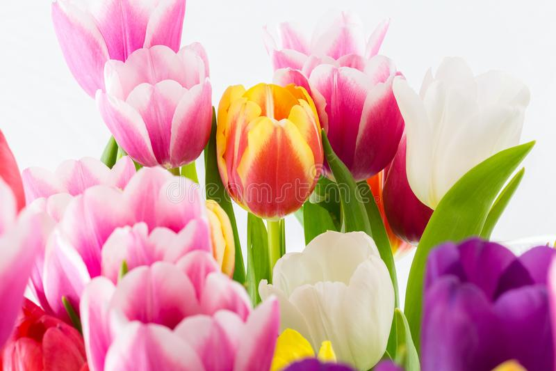 Blommar den färgrika våren för tulpan rosa röd guling och gräsplan royaltyfri foto