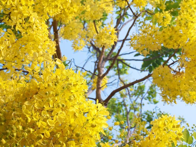 blommar den guld- duschen royaltyfria bilder