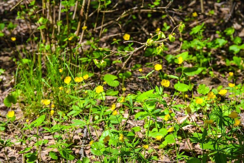 Blommar den härliga gula skogen för härliga gula skogblommor arkivbilder