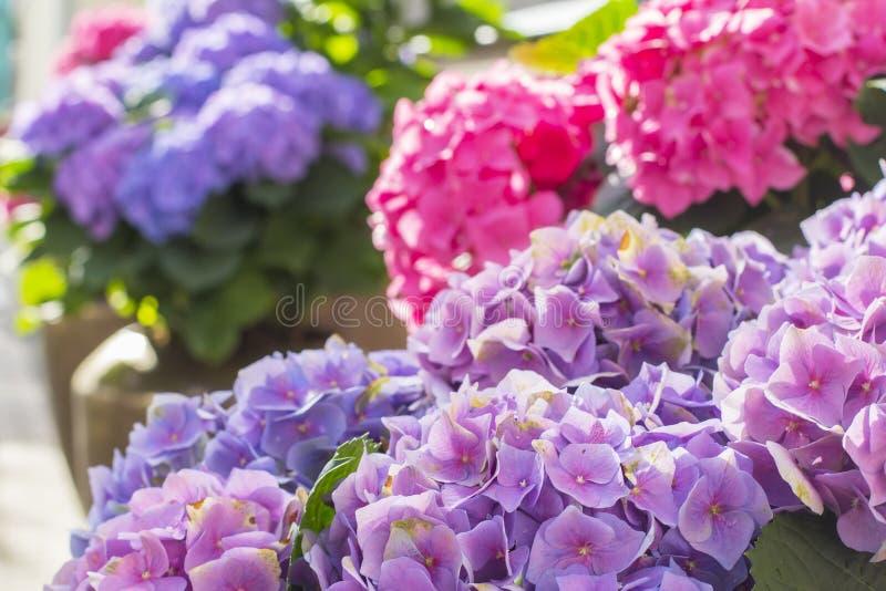 Blommar den härliga purpurfärgade vanliga hortensian för bakgrundssuddighet i en kruka arkivbilder