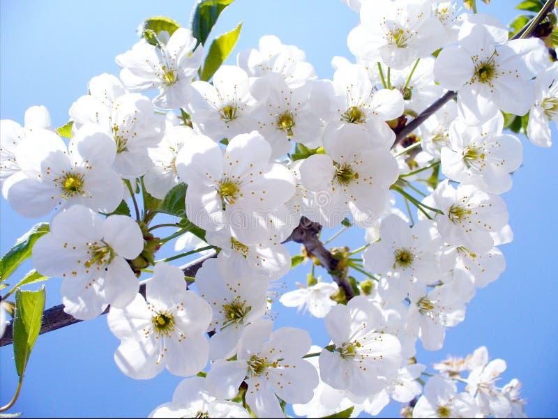 Blommar den körsbärsröda filialen för blomningen, den härliga våren för bakgrund arkivbilder
