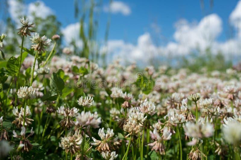blommar den lösa ängen för vit växt av släktet Trifolium i fält över djupblå himmel Foto för höst för naturtappningsommar utomhus royaltyfria bilder
