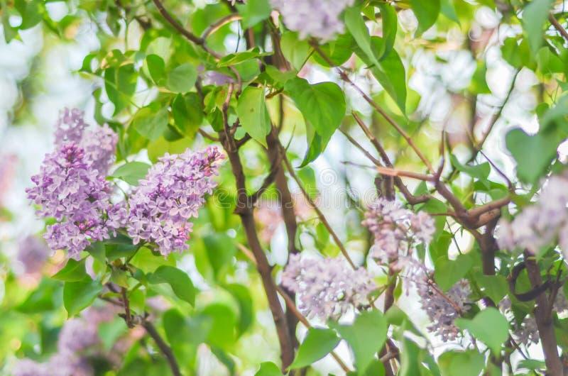 Blommar den purpurfärgade lilan för den härliga filialen utomhus royaltyfri bild