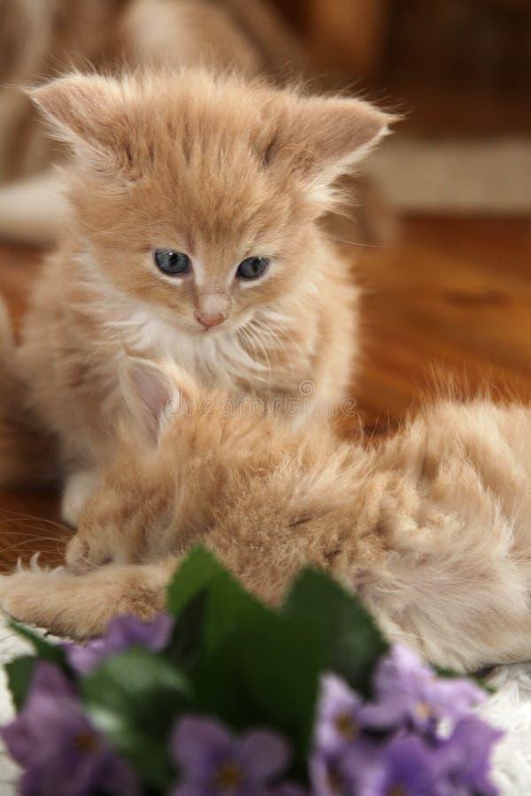 blommar den små violeten för kattungar fotografering för bildbyråer