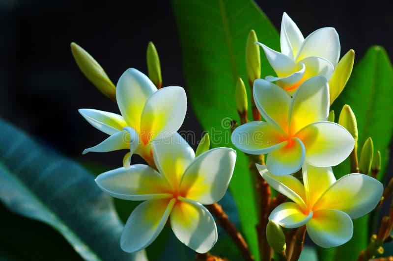 blommar den ursnygga frangipanien arkivbilder