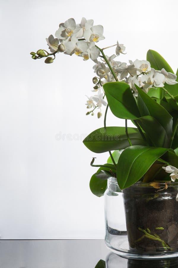 Blommar den vita orkidén Florious för växter som en gåva royaltyfri fotografi