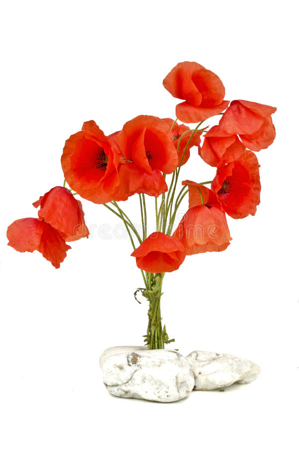 blommar den wild vallmon royaltyfri fotografi