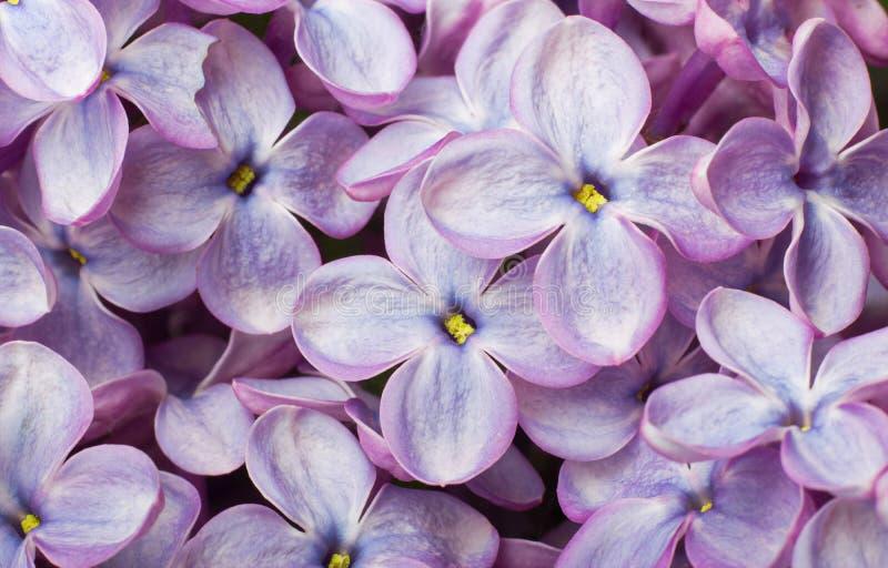 blommar det lila makrofotoet fotografering för bildbyråer