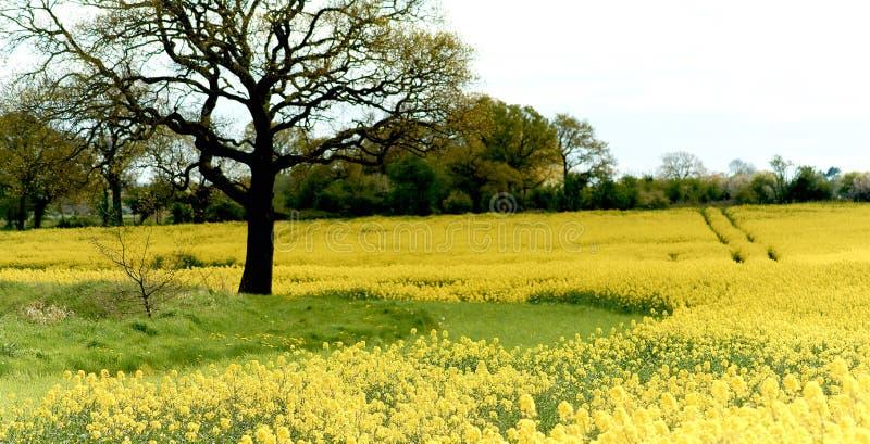 Blommar ensliga ställningar för en ek bara i ett lantligt landskap som omges av en skörd av rapsfröt arkivfoto