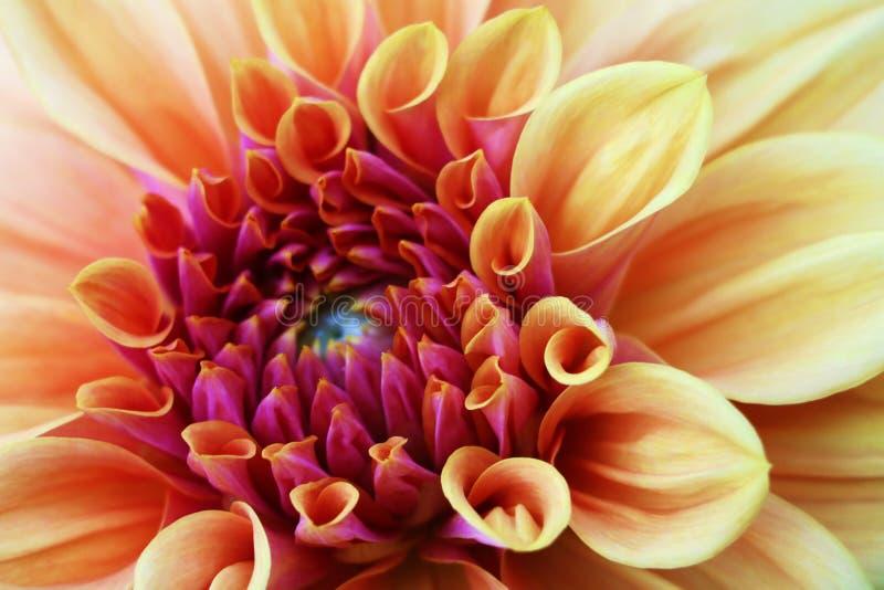Blommar för den guling och vit nya dahlian för rosa färger, makrofotoet Bild i färg som betonar de ljusa olika färgerna och den g fotografering för bildbyråer