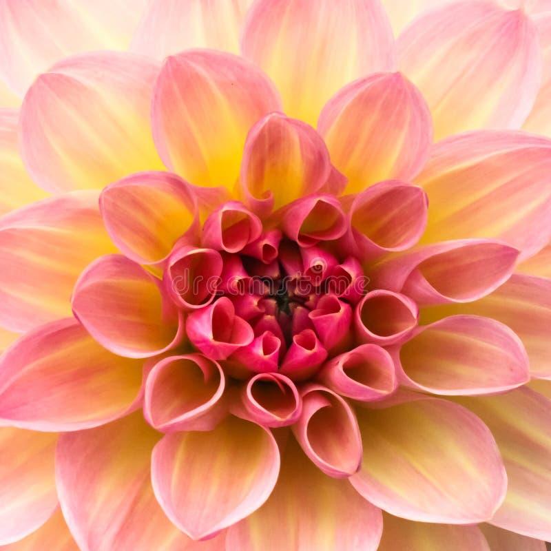 Blommar för den guling och vit nya dahlian för rosa färger, makrofotoet Blomma mitten i i mitt av den fyrkantiga ramen royaltyfria foton