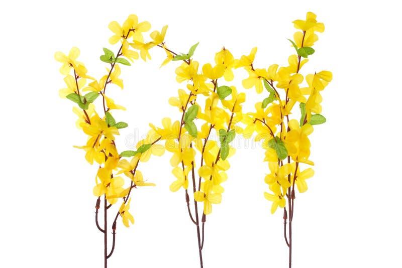 blommar forsythia royaltyfria foton