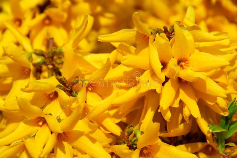 blommar forsythia arkivbilder