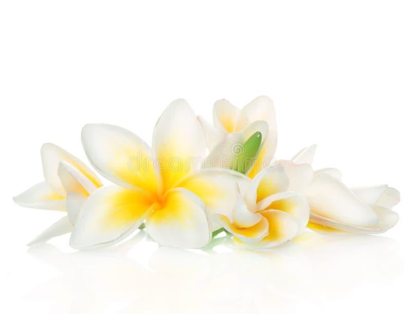 blommar frangipanibrunnsorten arkivfoto