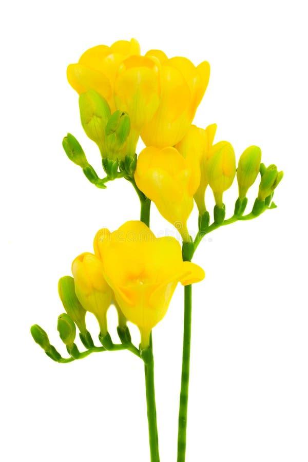 blommar freesia isolerad vit yellow fotografering för bildbyråer