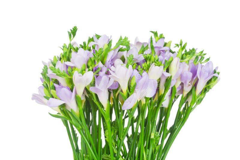 blommar freesialilan arkivbild