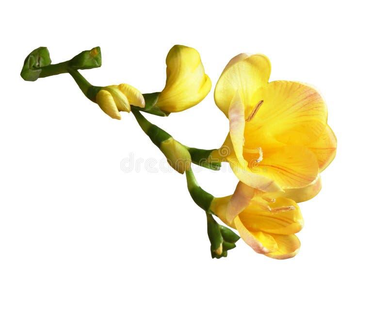 blommar freesiayellow arkivfoton