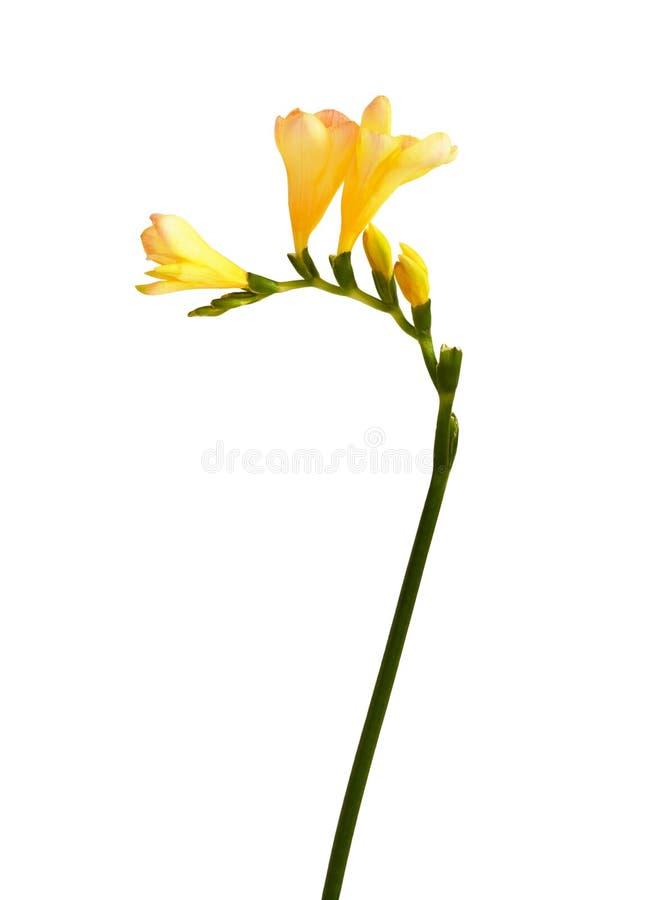 blommar freesiayellow royaltyfria foton