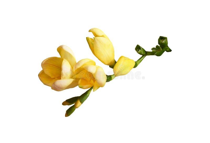 blommar freesiayellow fotografering för bildbyråer