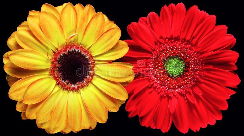 blommar gerber royaltyfri foto