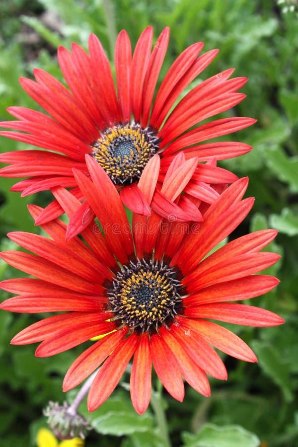 blommar gerberaen royaltyfria foton