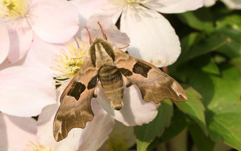 Blommar härliga en limefruktHök-mal Mimas tiliae som sätta sig på klematis royaltyfria foton