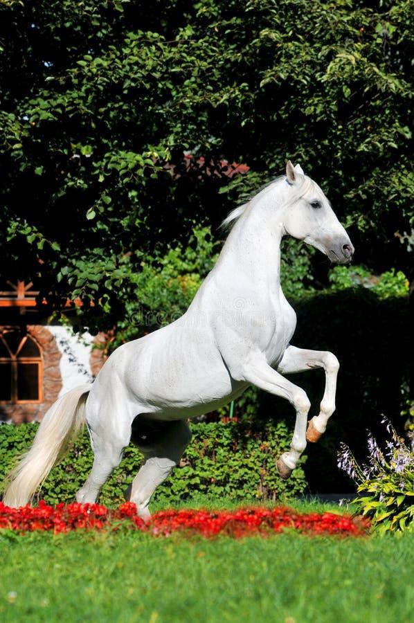 blommar hästen som fostrar red upp white arkivfoto