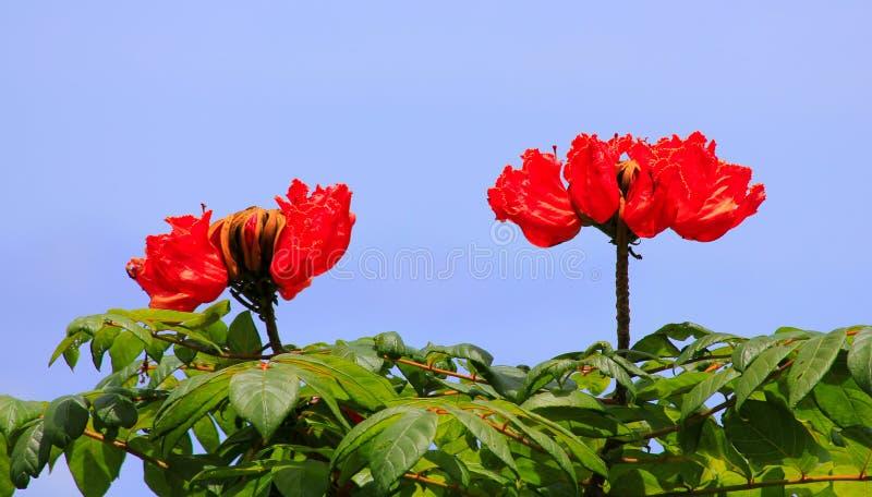 blommar hawaiibo arkivfoto