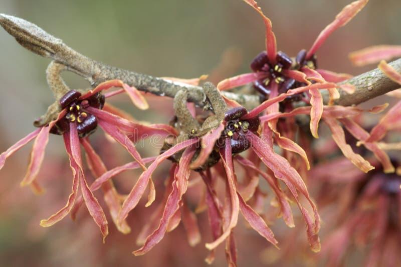blommar hazelhäxan royaltyfri foto