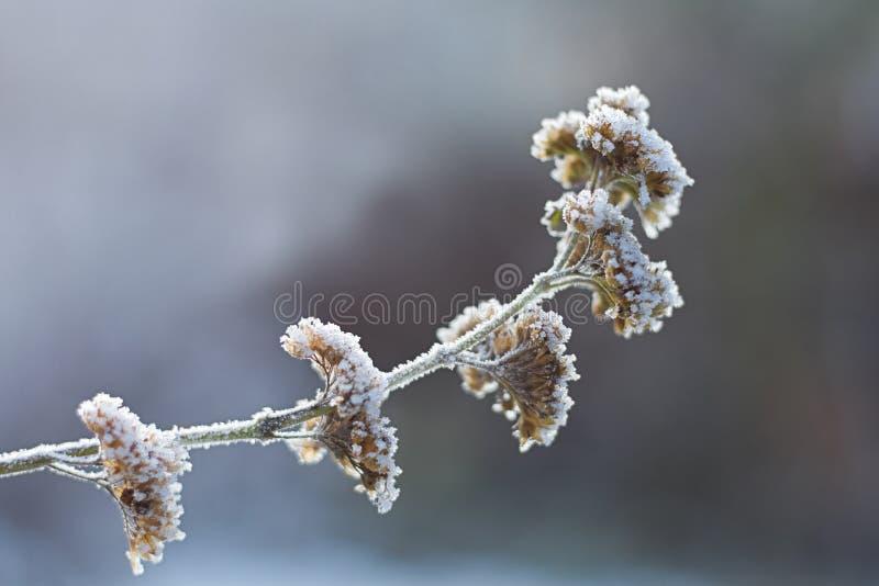 blommar icy vinter royaltyfri bild