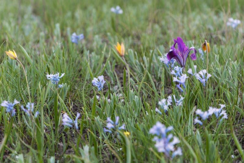 blommar iristulpan fotografering för bildbyråer