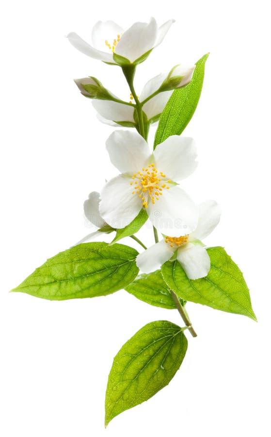blommar jasminen arkivfoto