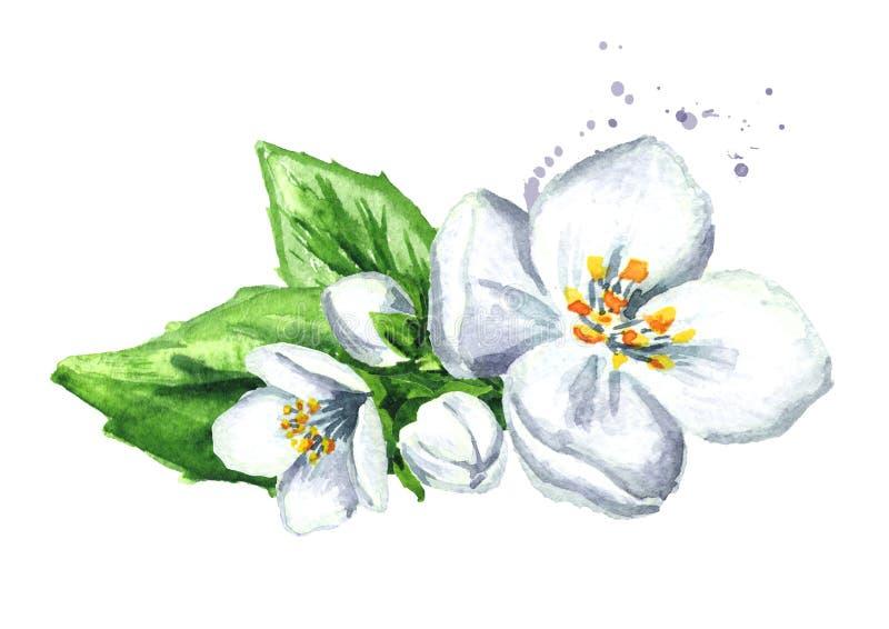 blommar jasminwhite Dragen illustration för vattenfärg som hand isoleras på vit bakgrund vektor illustrationer