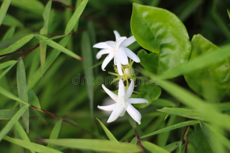 blommar jasminwhite fotografering för bildbyråer