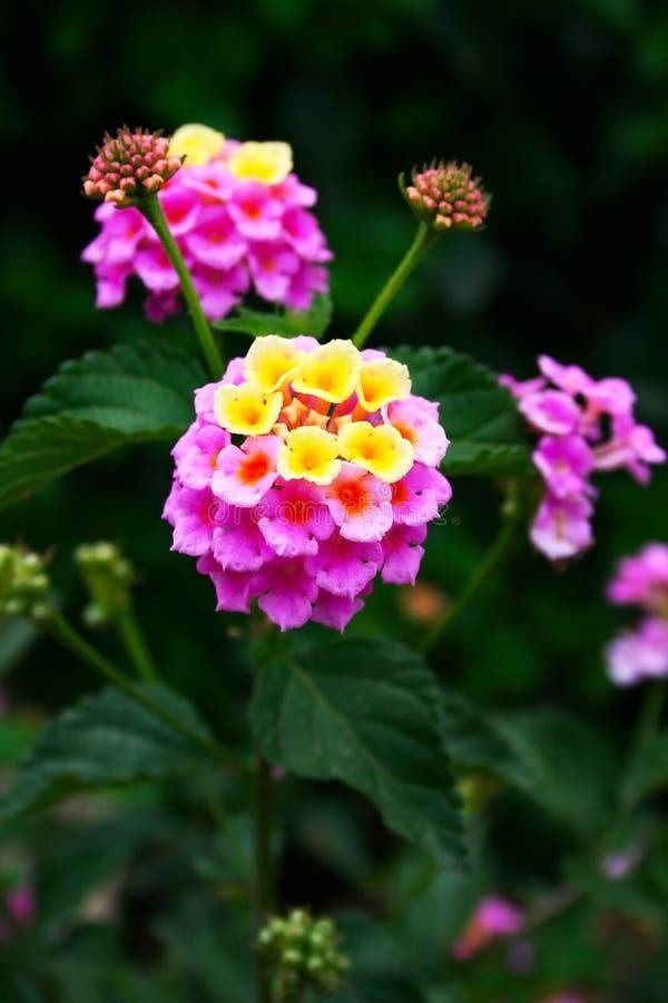 blommar lantanaen fotografering för bildbyråer