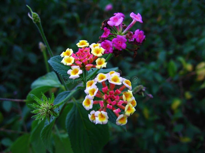 blommar lantanaen royaltyfri foto